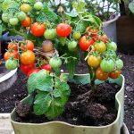 распыление раствора помидоры