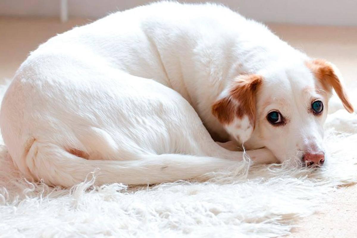 взрослая собака болеет